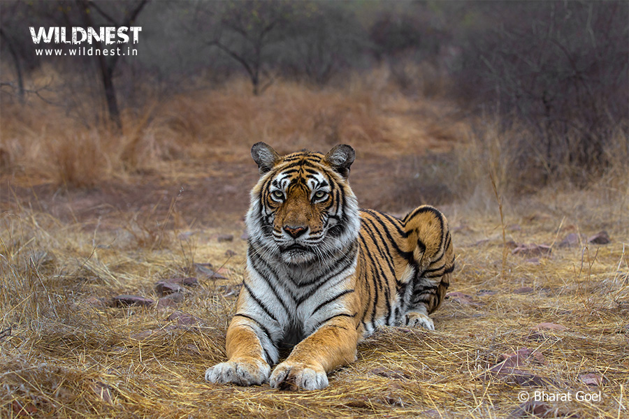 Machli Tigers of Ranthambore National Park