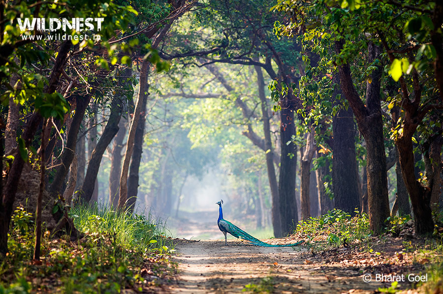peacock in habitat at dudhwa national park