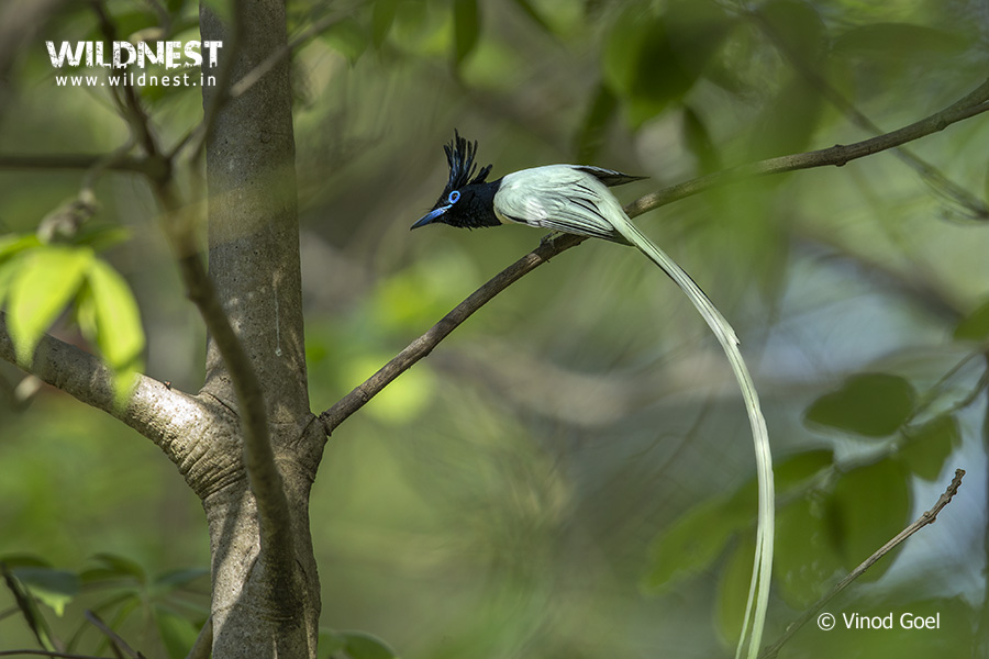 asian-paradise-flycatcher-tadoba