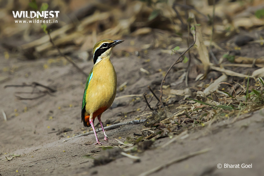 indian-pitta-tadoba-bharat