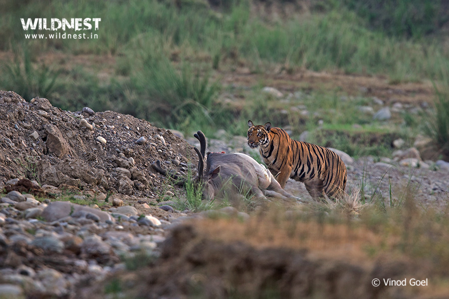 tiger-rajaji-national-park