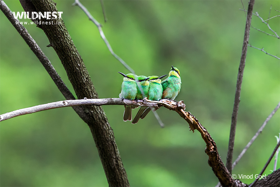 Bee Eater family at Sariska Tiger Reserve