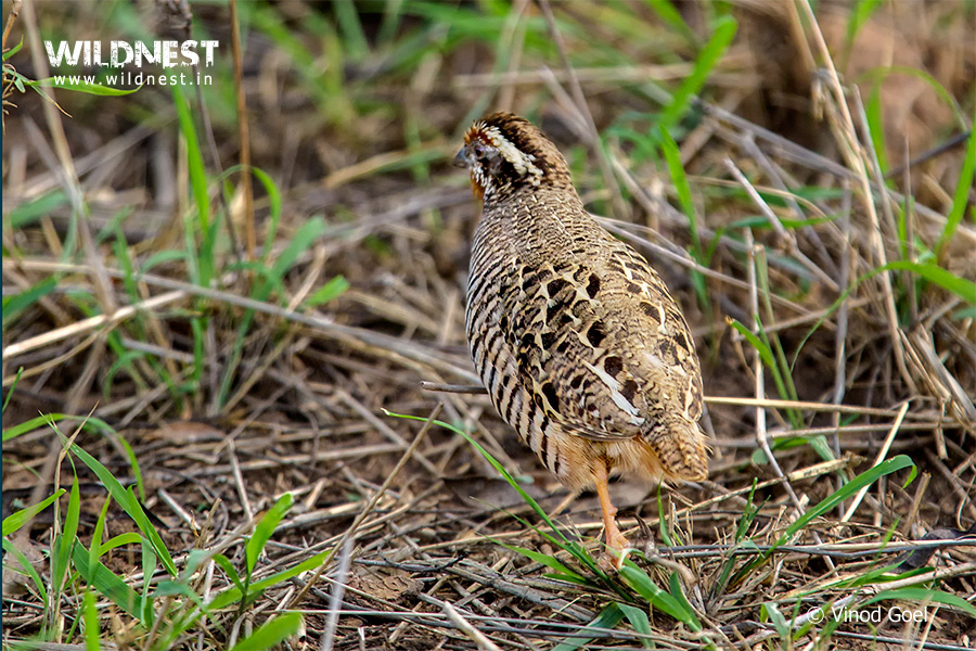 Bush Quail at Sariska Tiger Reserve