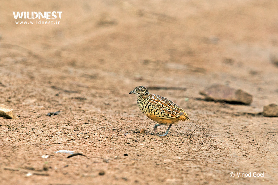 Button Quail at Sariska Tiger Reserve