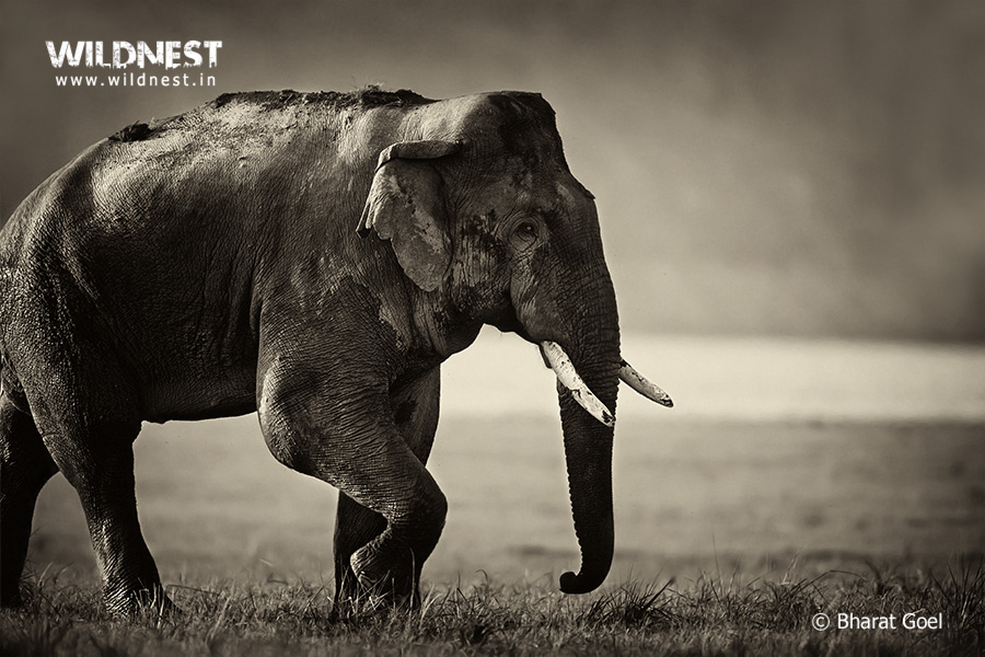 elephant-corbett-india-bharat