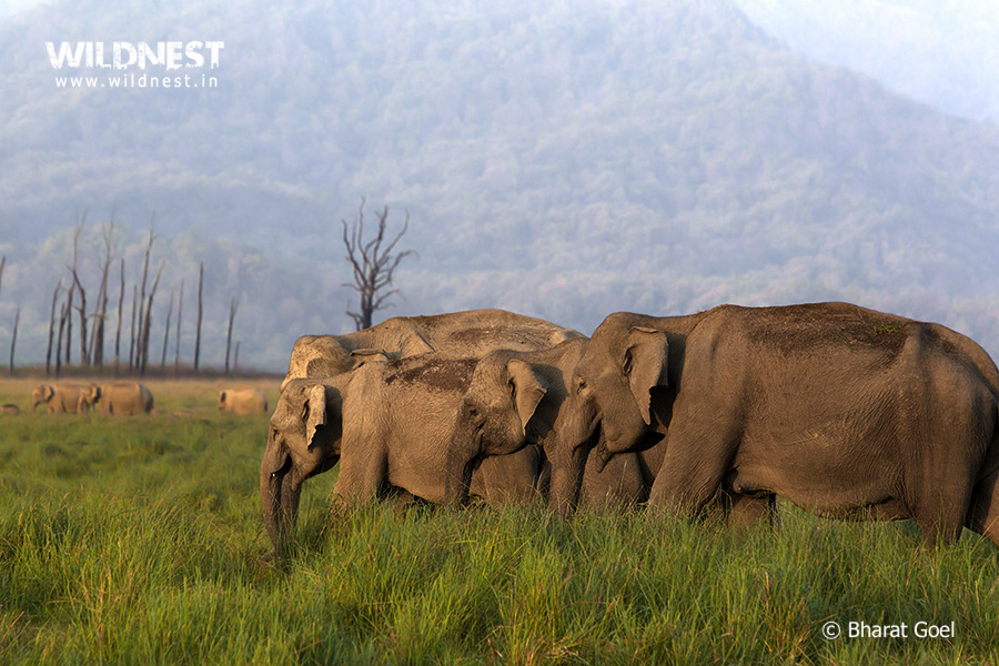 Elephants Herd at Corbett Tiger Reserve