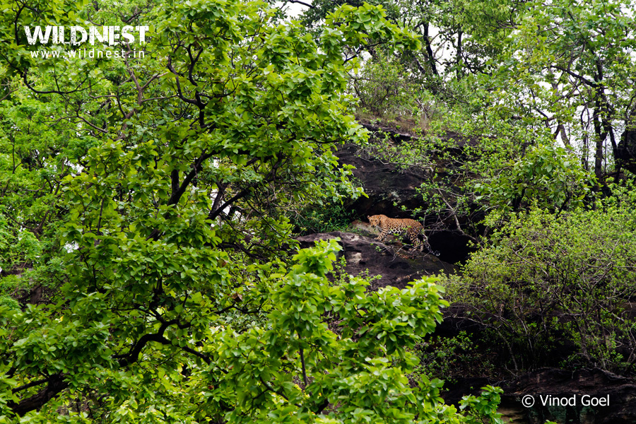 Leopard in monsoon at Bandhavgarh National Park