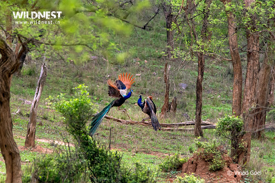 Peacock fighting at Sariska Tiger Reserve