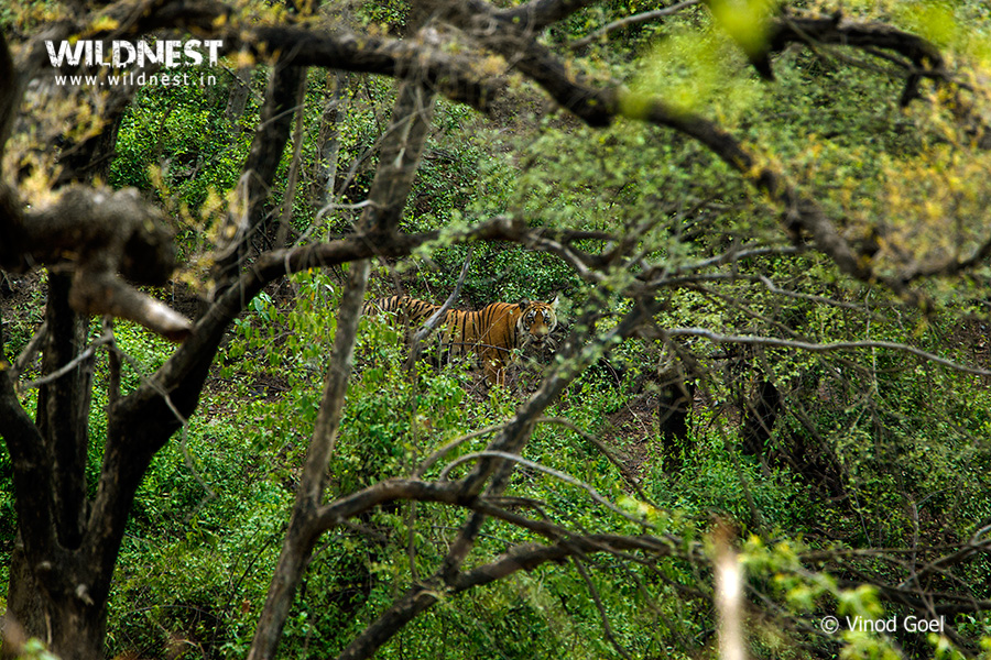 Tiger in habitat at Sariska Tiger Reserve