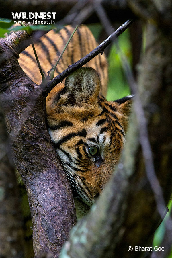 Tadoba Trip Report - Tiger-eyes-tadoba