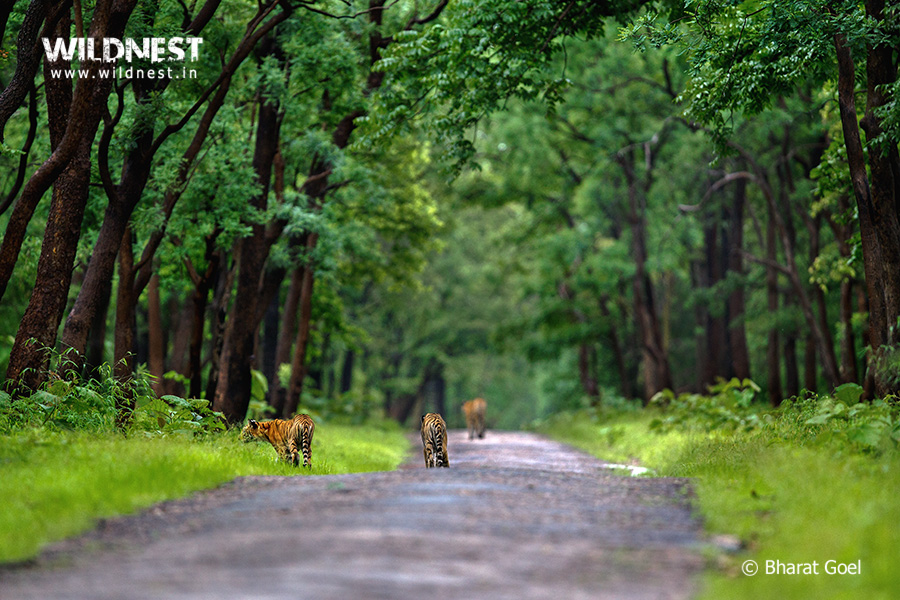 Tadoba Trip Report - Tiger family at tadoba