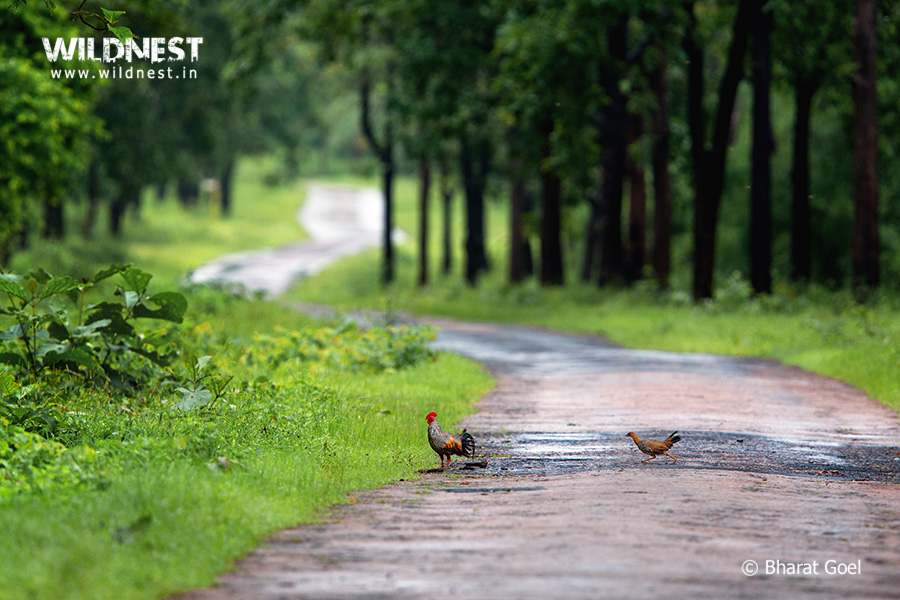 Tadoba Trip Report - Grey jungle fowl - tadoba