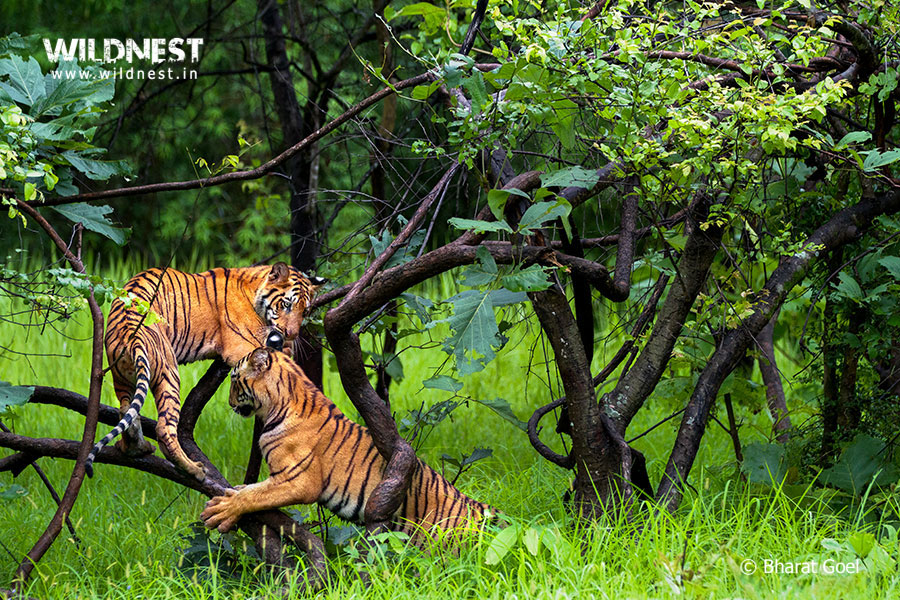 Tadoba Trip Report - tiger cubs playing in wild at tadoba.....