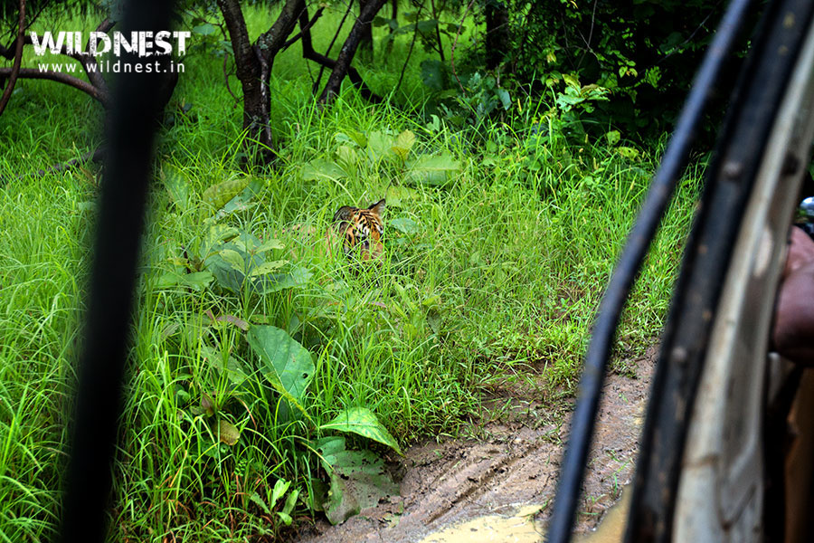 Tadoba Trip Report - tiger safari at tadoba.
