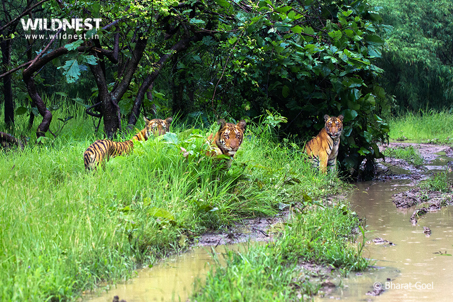 Tadoba Trip Report - tiger cubs at Tadoba Andhari Tiger Reserve