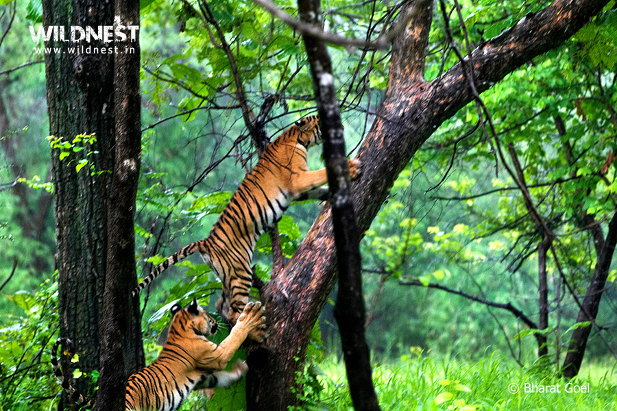 Tadoba Trip Report - tiger cubs playing at Tadoba Andhari Tiger Reserve