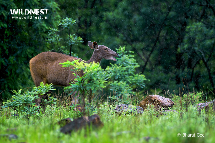 Tadoba Trip Report - sambar in rain at tadoba