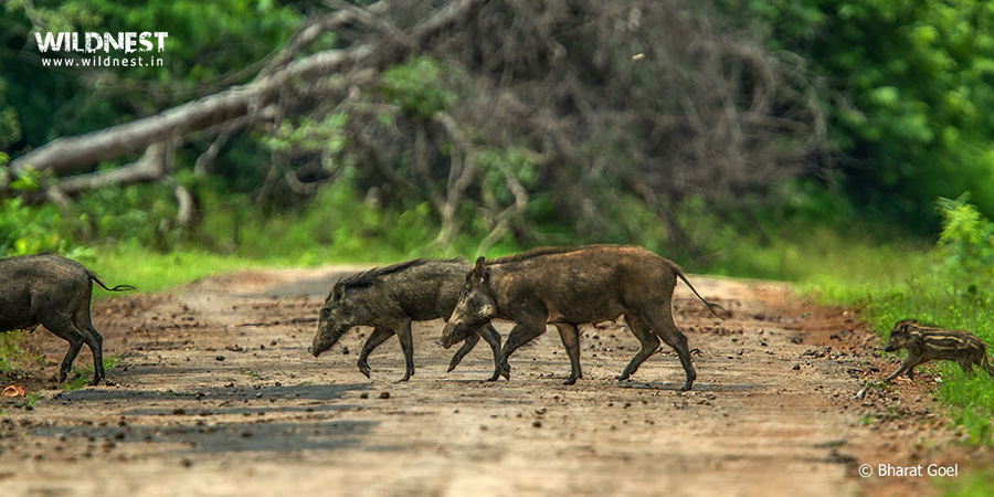 Tadoba Trip Report - wild boar with baby at tadoba