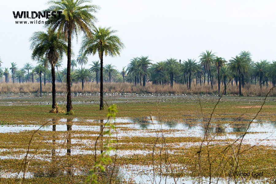 Birding Near Delhi at Surajpur Wetlands, Greater Noida