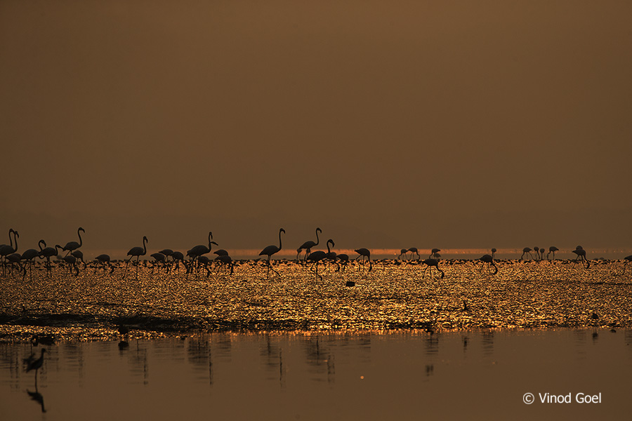 Flamingos at Sunrise at bhandup