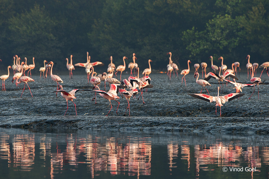 Flamingos at bhandup