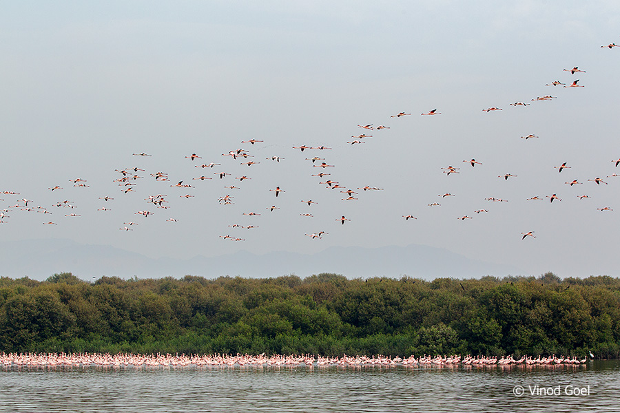 Flamingos in flight at Bhandup