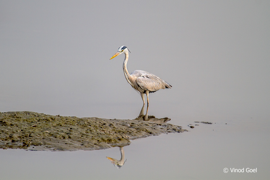 Grey heron at bhandup