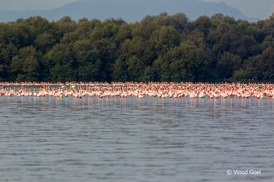 Flock of Flamingos at Bhandup