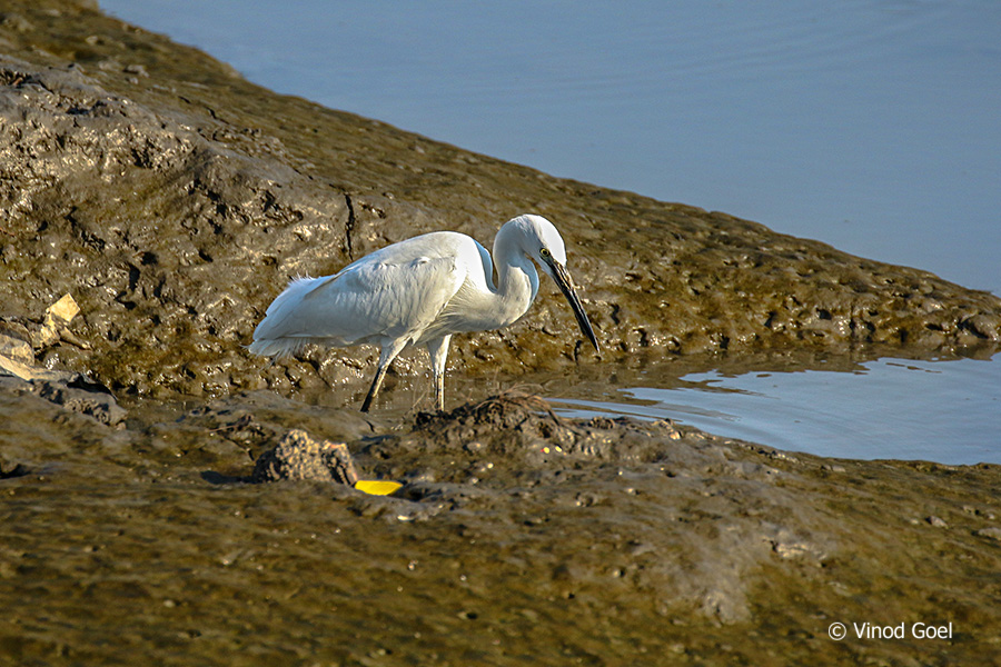 Intermediate Egret at bhandup