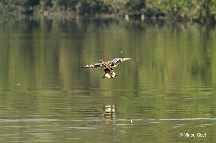 Northern shoveler female at bhandup